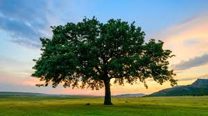 12 Fast-Growing Shade Trees | Arbor Day Blog